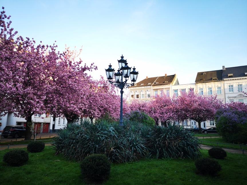 Kirschblüten, Sonnenuntergang und dieBurg