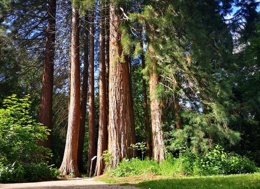 Fahrt zu denMammutbäumen